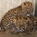 Amur Leopard Cubs - © Maaja Kitsing at Tallinn Zoo